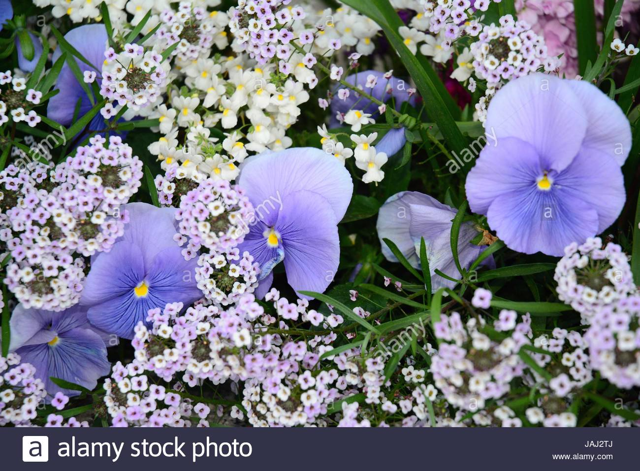 Blue pansies growing among other delicate small flowers. - Stock Image