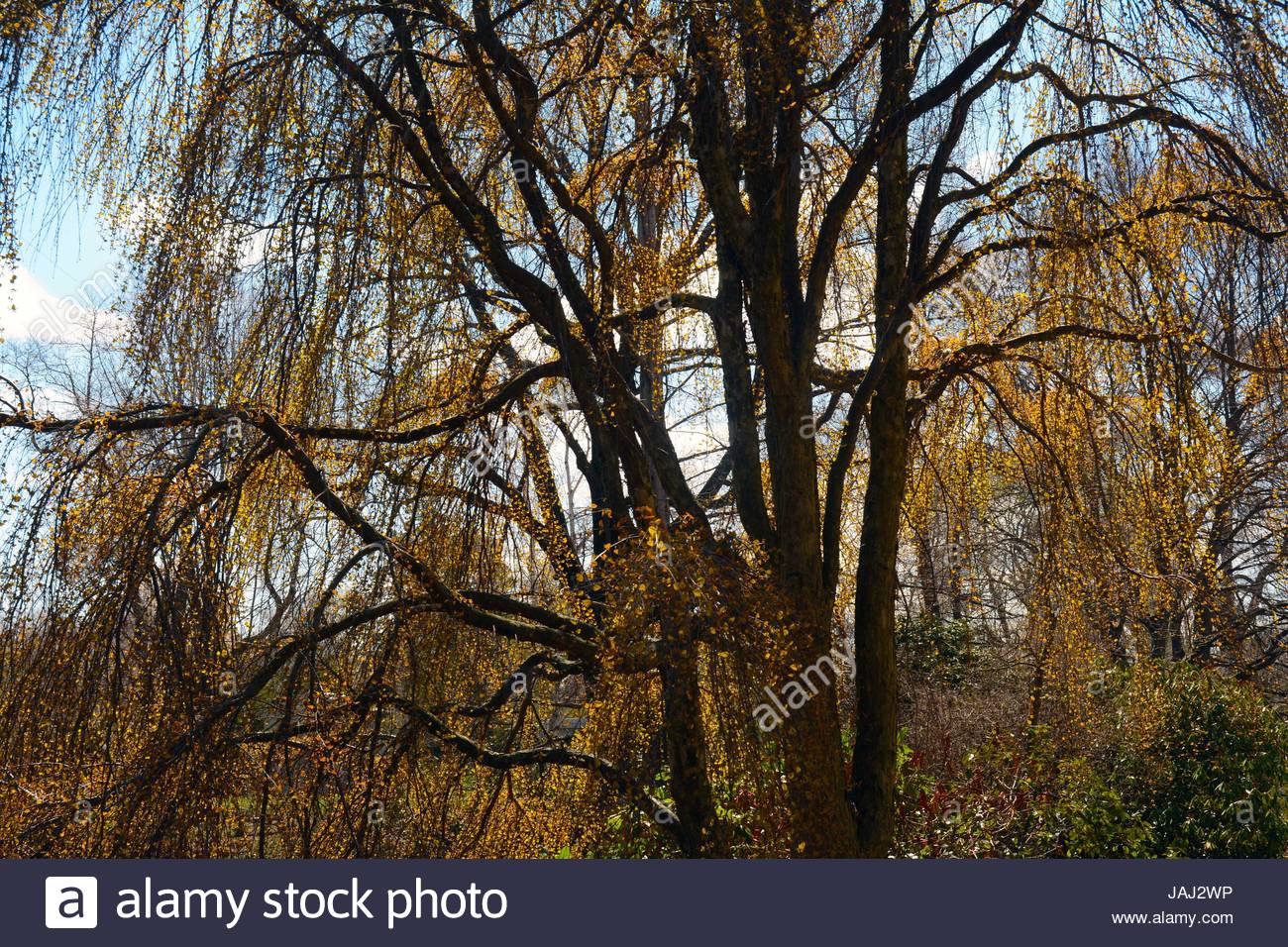 A weeping Katsura tree leafing out in spring. - Stock Image