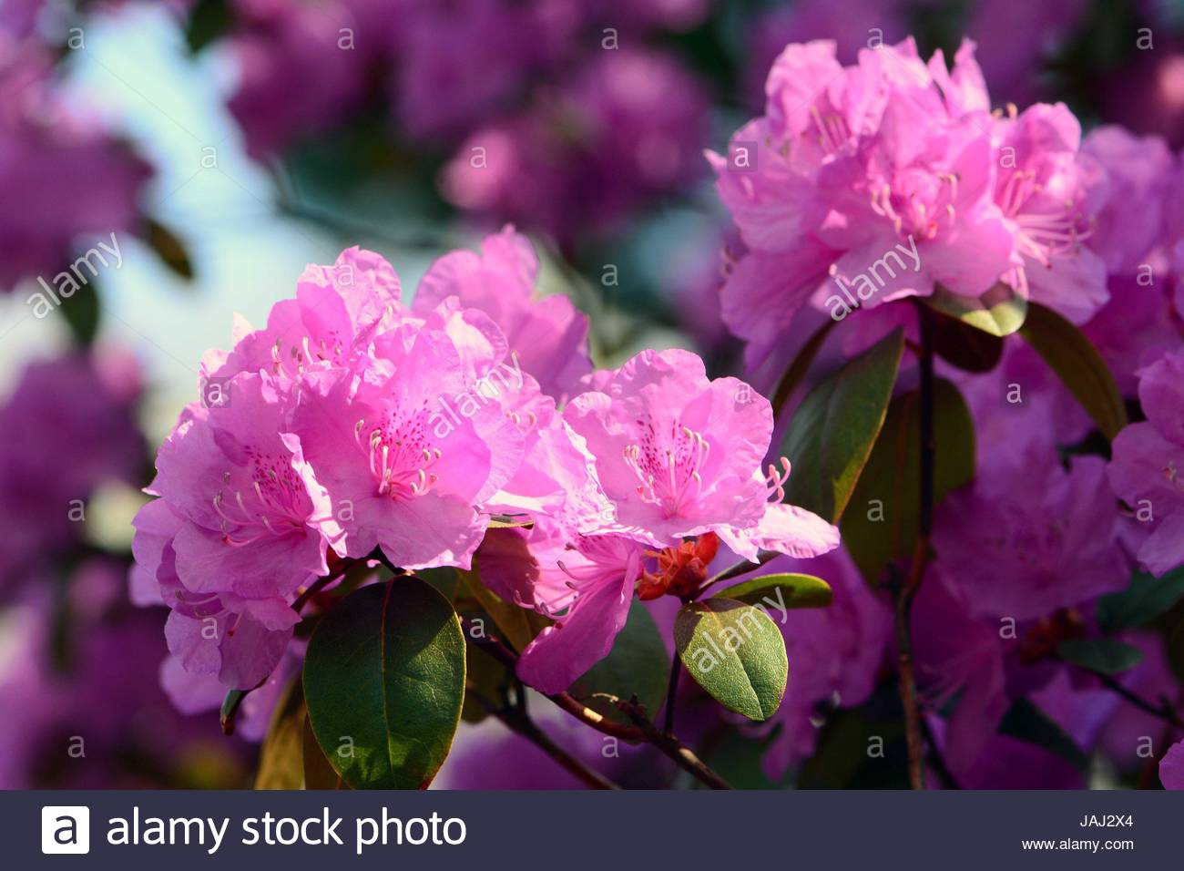 Close up of a flowering rhododendron shrub in spring. - Stock Image