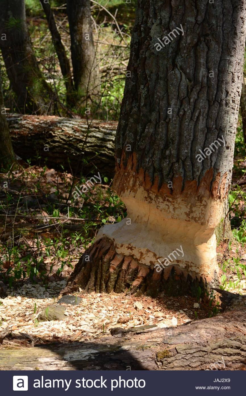 Fresh beaver damage to a large pine tree. - Stock Image