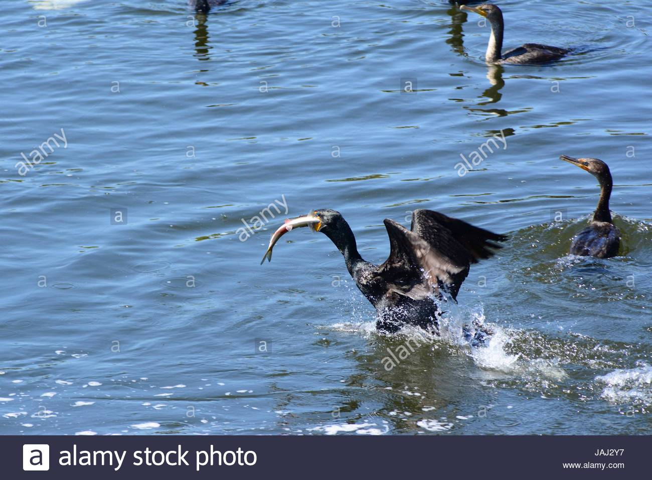 Double-crested cormorants hunting for alewives during their migration. - Stock Image