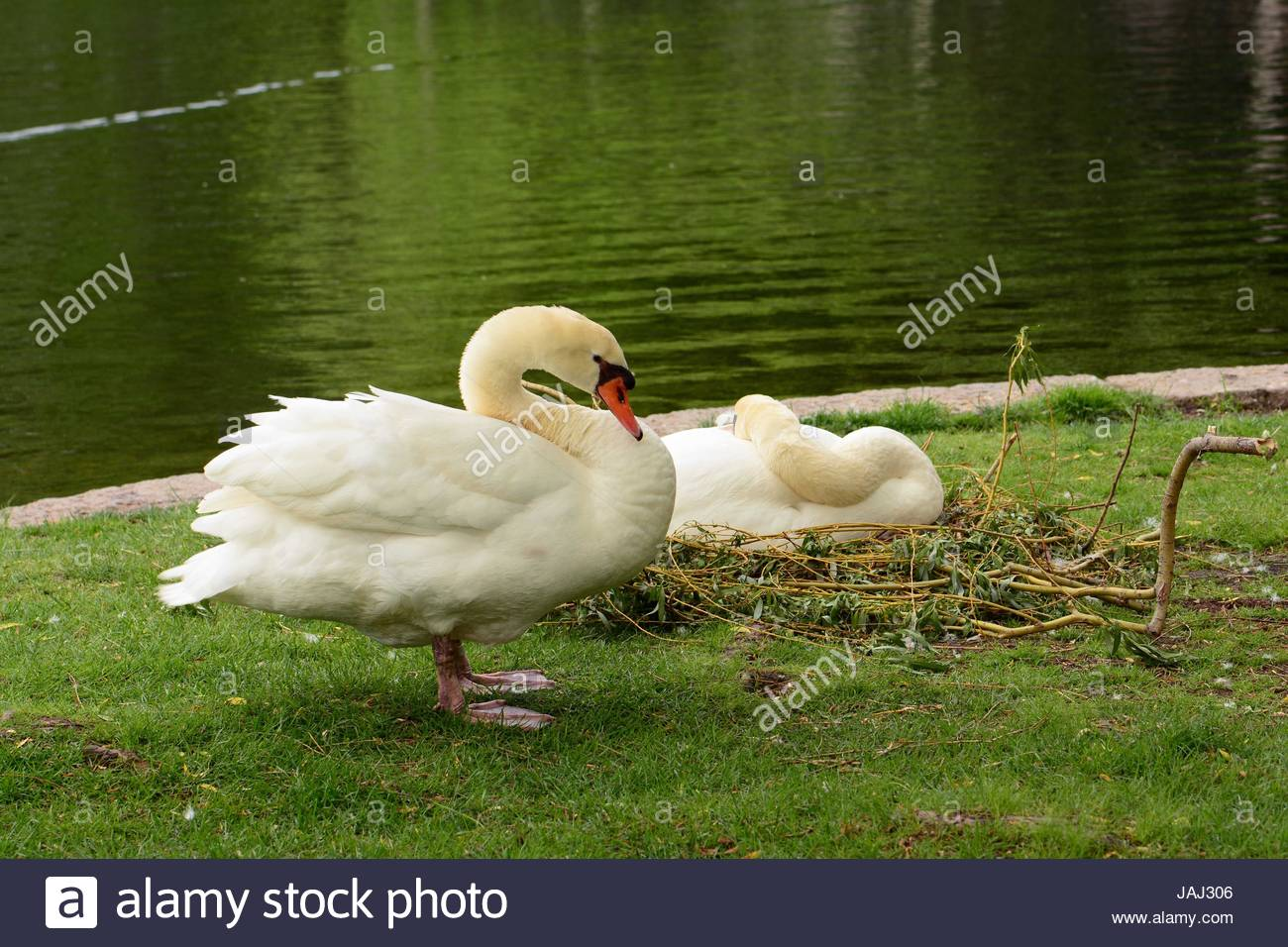A nesting pair of mute swans, Cygnus olor, in the Public Garden. Stock Photo