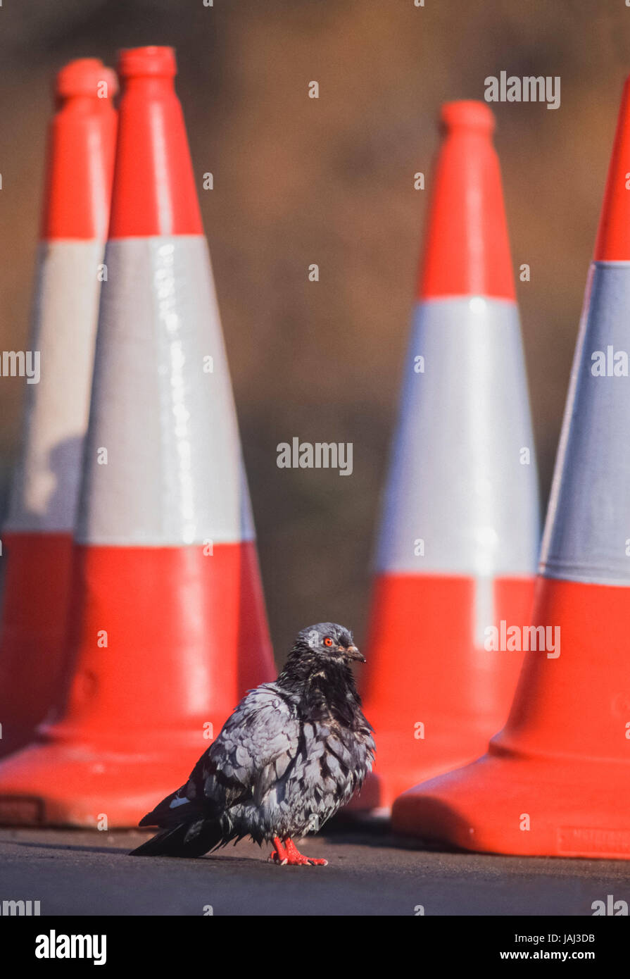 Feral Pigeon, Columba livia domestica, on road beside traffic cones, London, United Kingdom - Stock Image