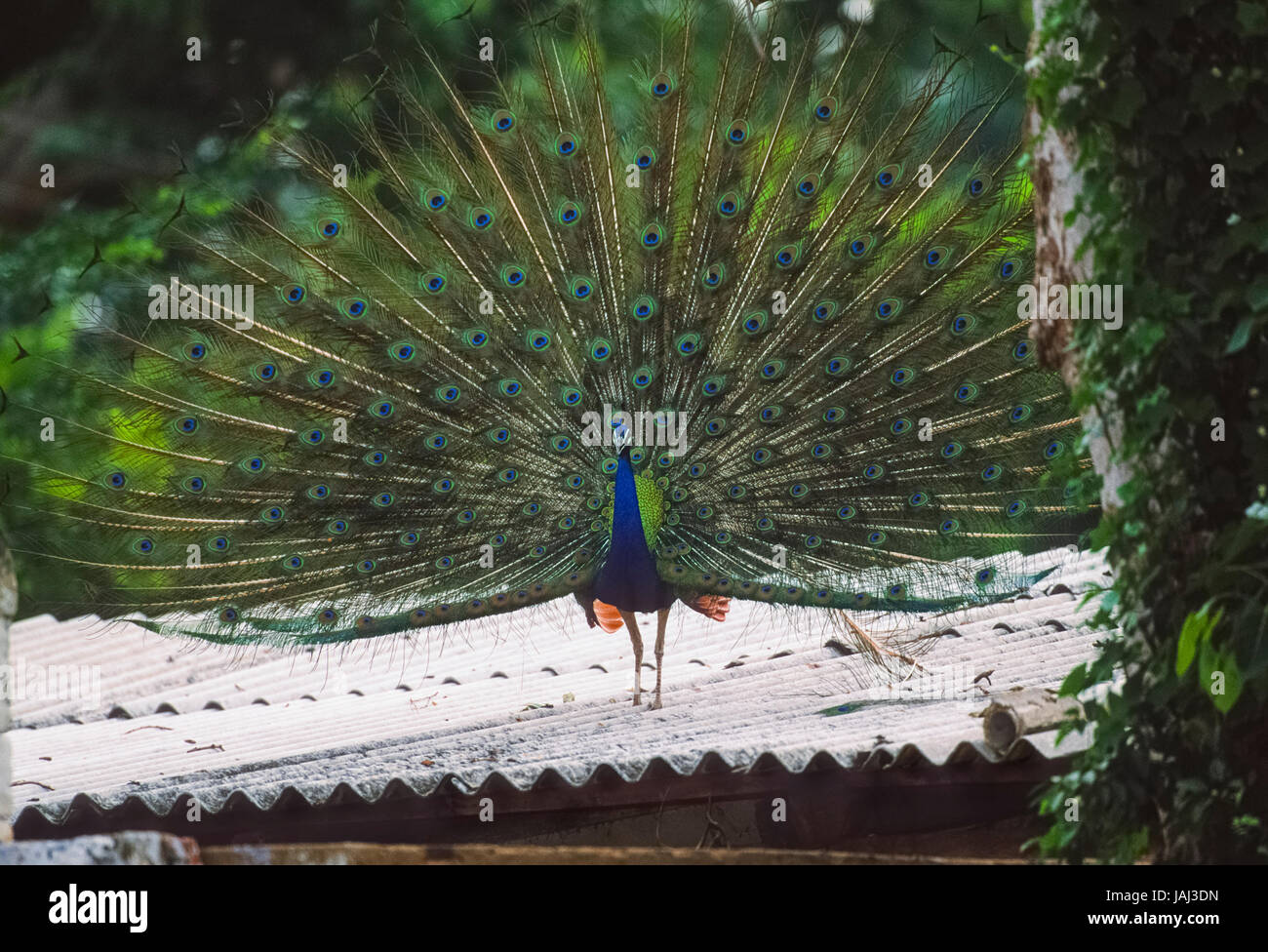 male Peafowl or Peacock, Pavo cristatus, fanning tail feathers,Keoladeo Ghana National Park, Bharatpur, Rajasthan, - Stock Image