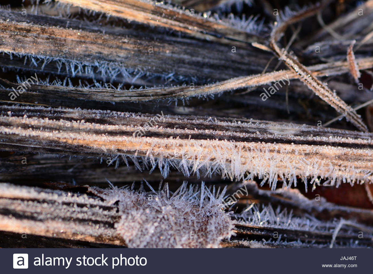 Hoarfrost formed on dead plant stalks after a night of subfreezing weather. - Stock Image