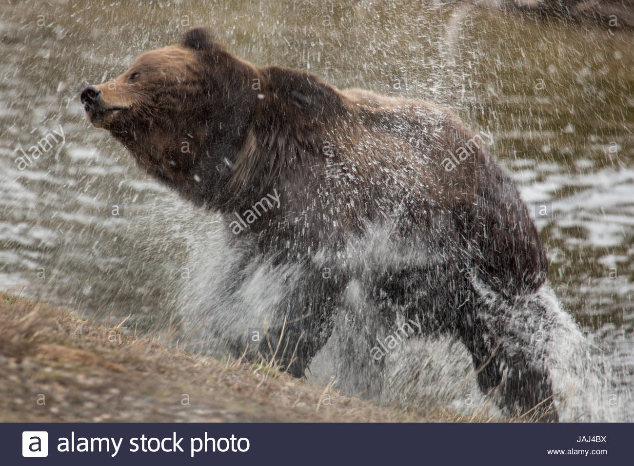 A grizzly bear shakes off water in Yellowstone National Park's Upper Geyser Basin. - Stock Image
