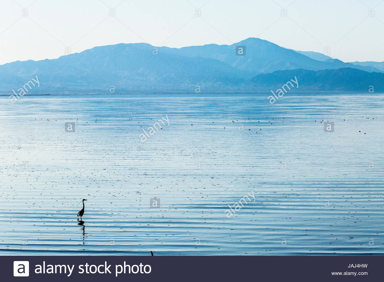 A Great Blue Heron, Ardea herodias, in the shallows in the Salton Sea in Southern California. Stock Photo