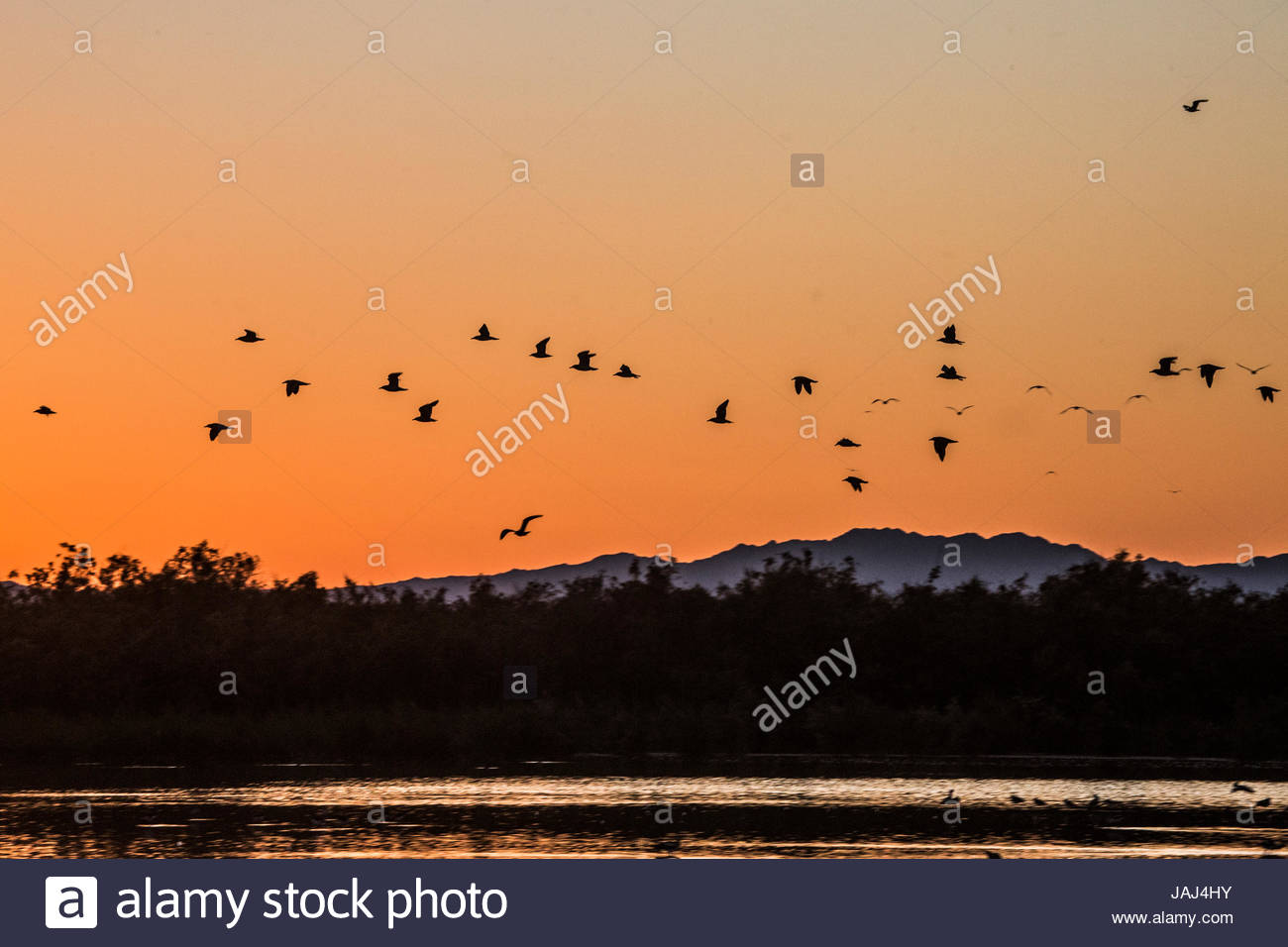 Flock of birds flying over the Salton Sea at sunset. - Stock Image