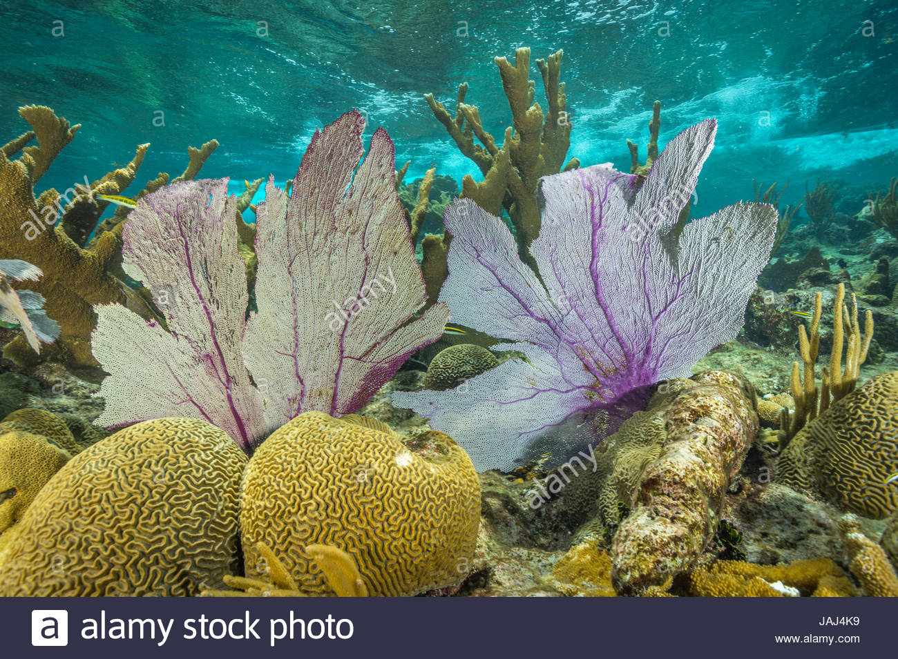 Protected elkhorn corals, brain corals and purple sea fans at Buck Island Reef National Monument. - Stock Image