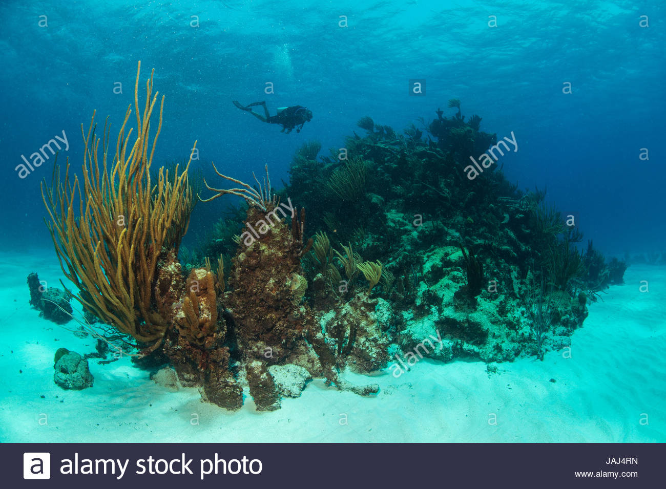 Corals in the protected waters of Buck Island National Monument. - Stock Image