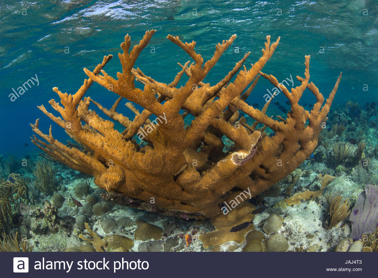 Elkhorn corals in the protected waters of Buck Island National Monument. - Stock Image