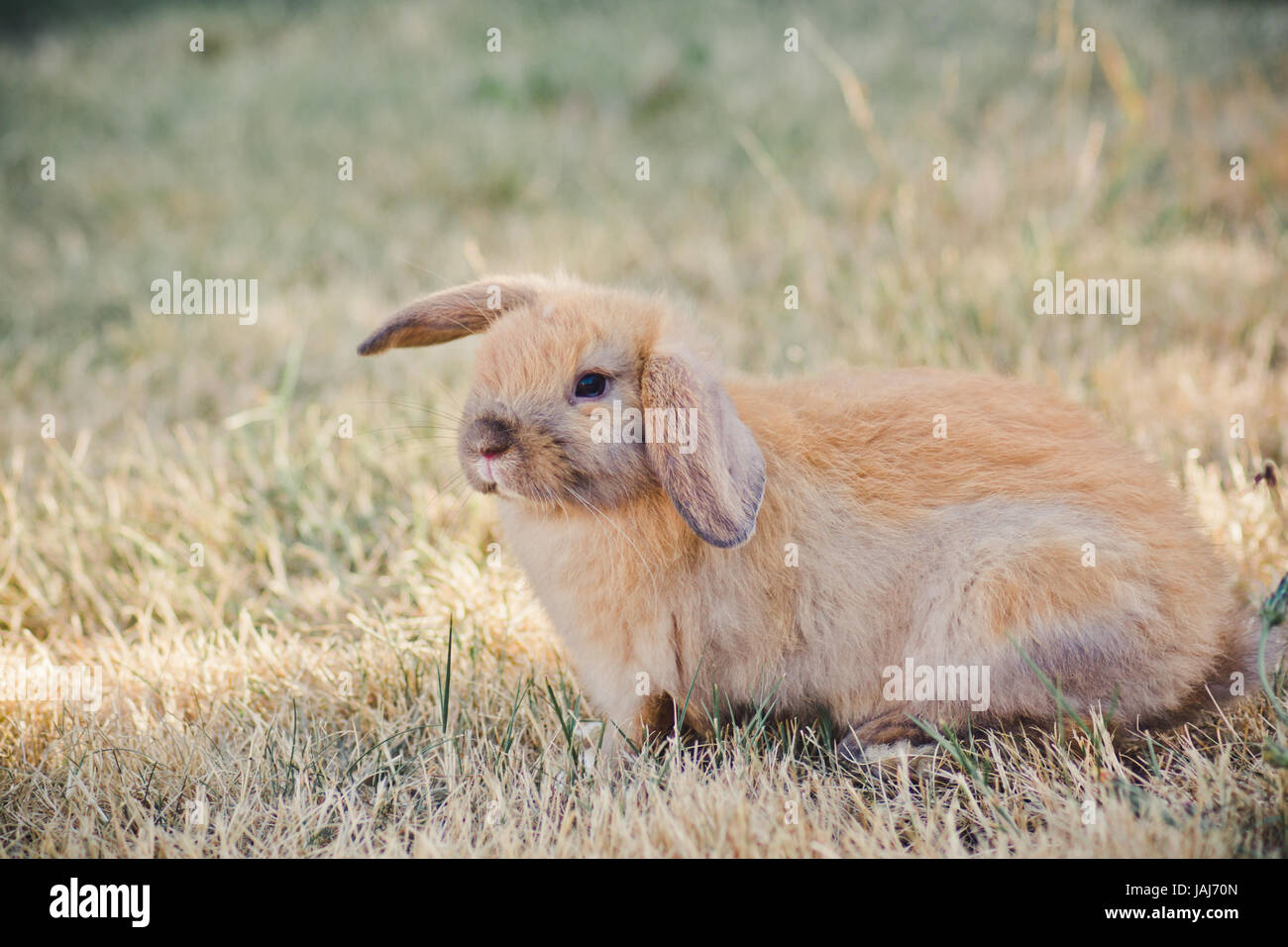 Tan Holland Lop Bunny - Stock Image