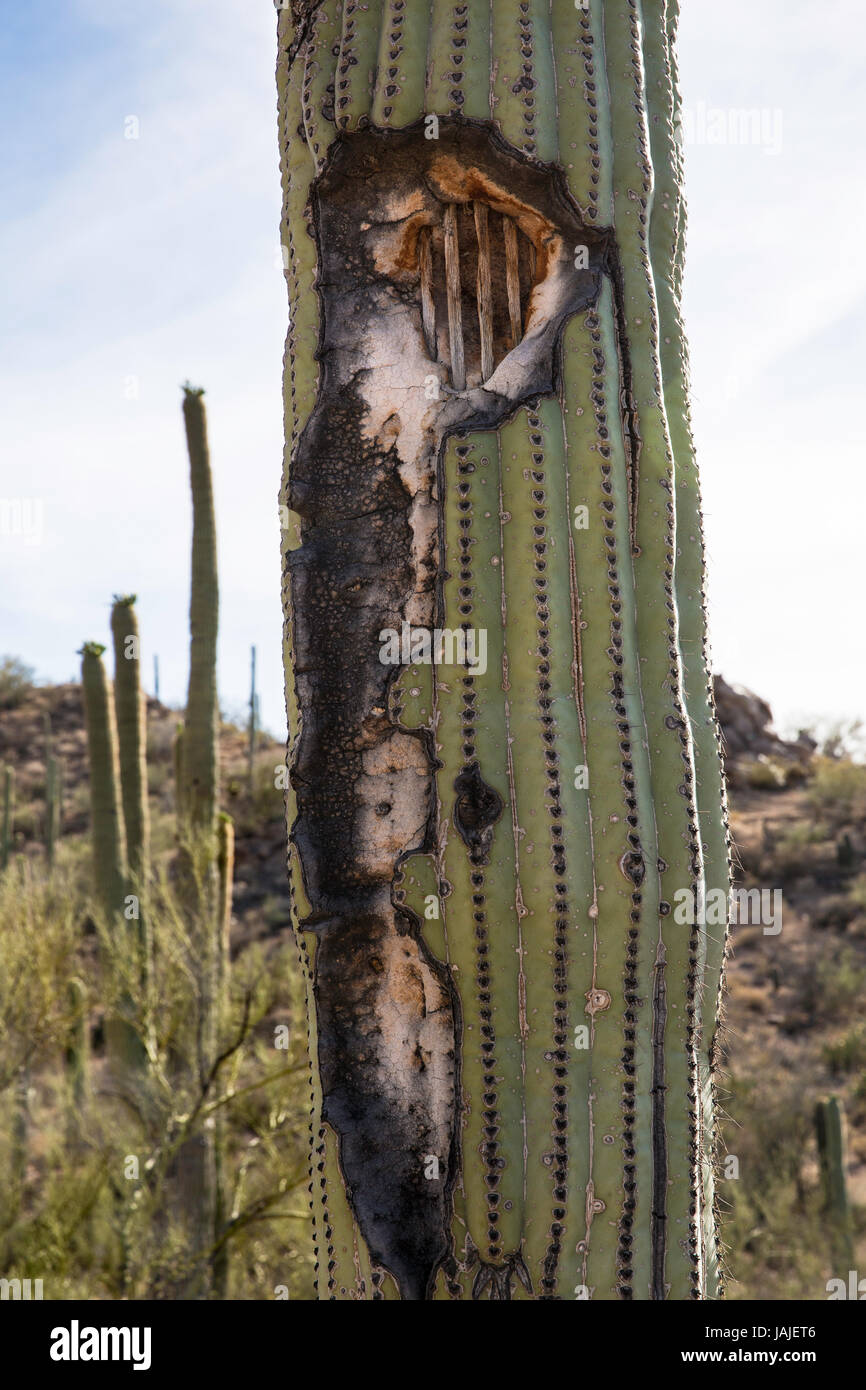 Damaged Saguaro Cactus (Carnegiea gigantea) reveals the inner Stock ...