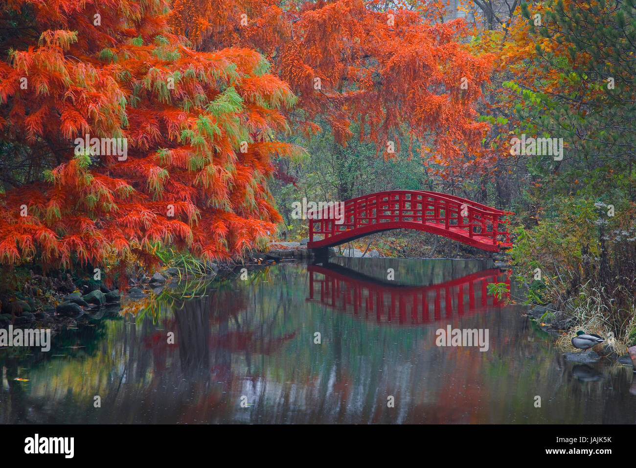 Red Footbridge, Japanese Garden, Autumn Stock Photo