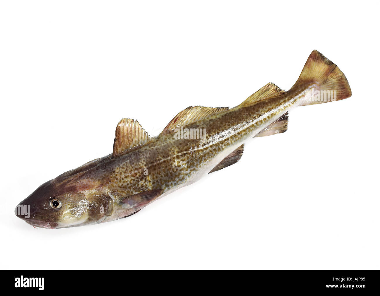 More freshly cod or cod,Gadus morhua,white background, - Stock Image