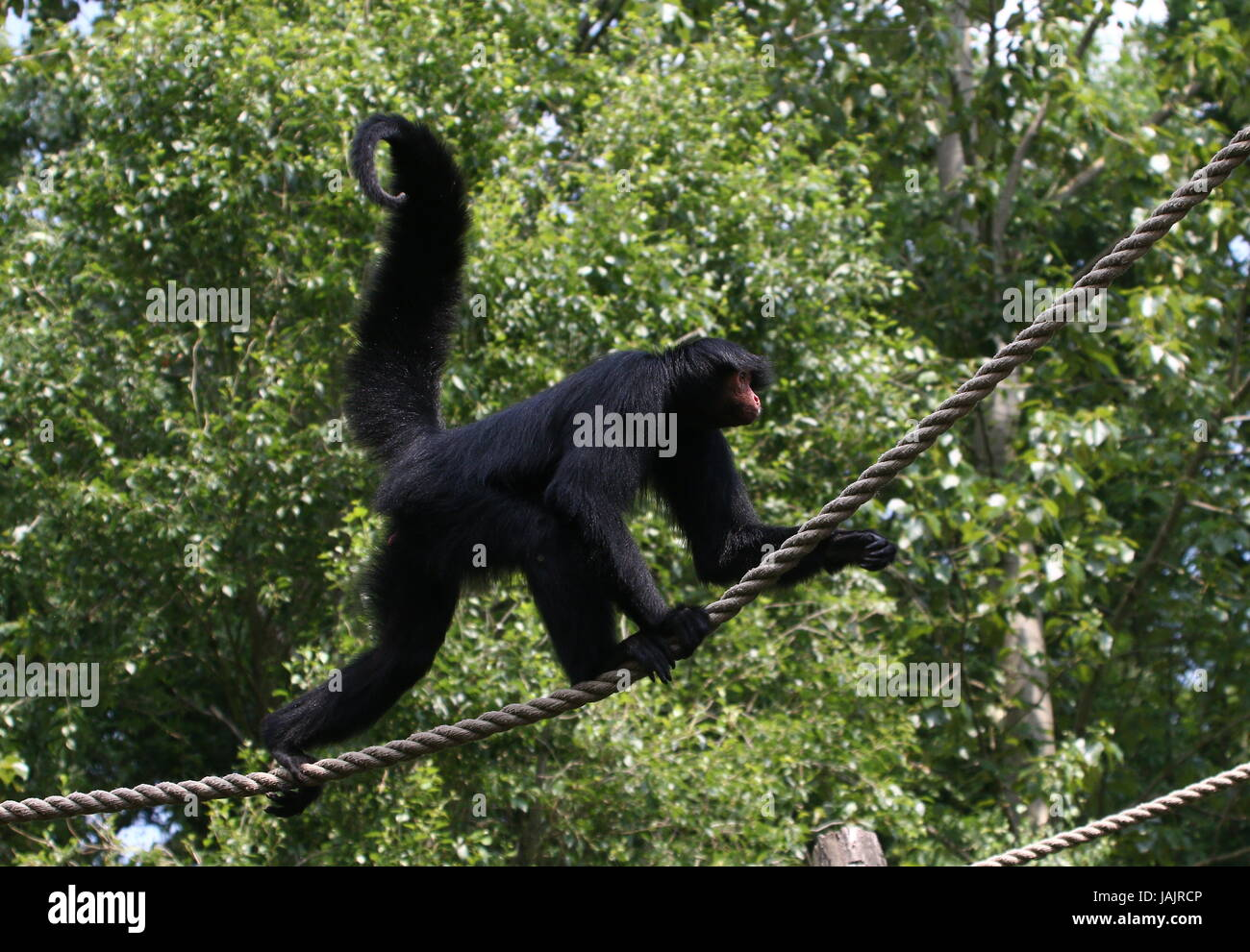 Tightrope walking South American Red-Faced Black Spider Monkey (Ateles paniscus) a.k.a. Guiana spider monkey. - Stock Image