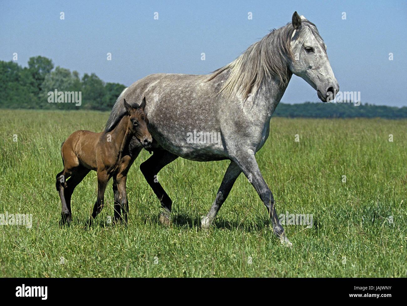 Lusitano horse,mare,foal,pasture, - Stock Image