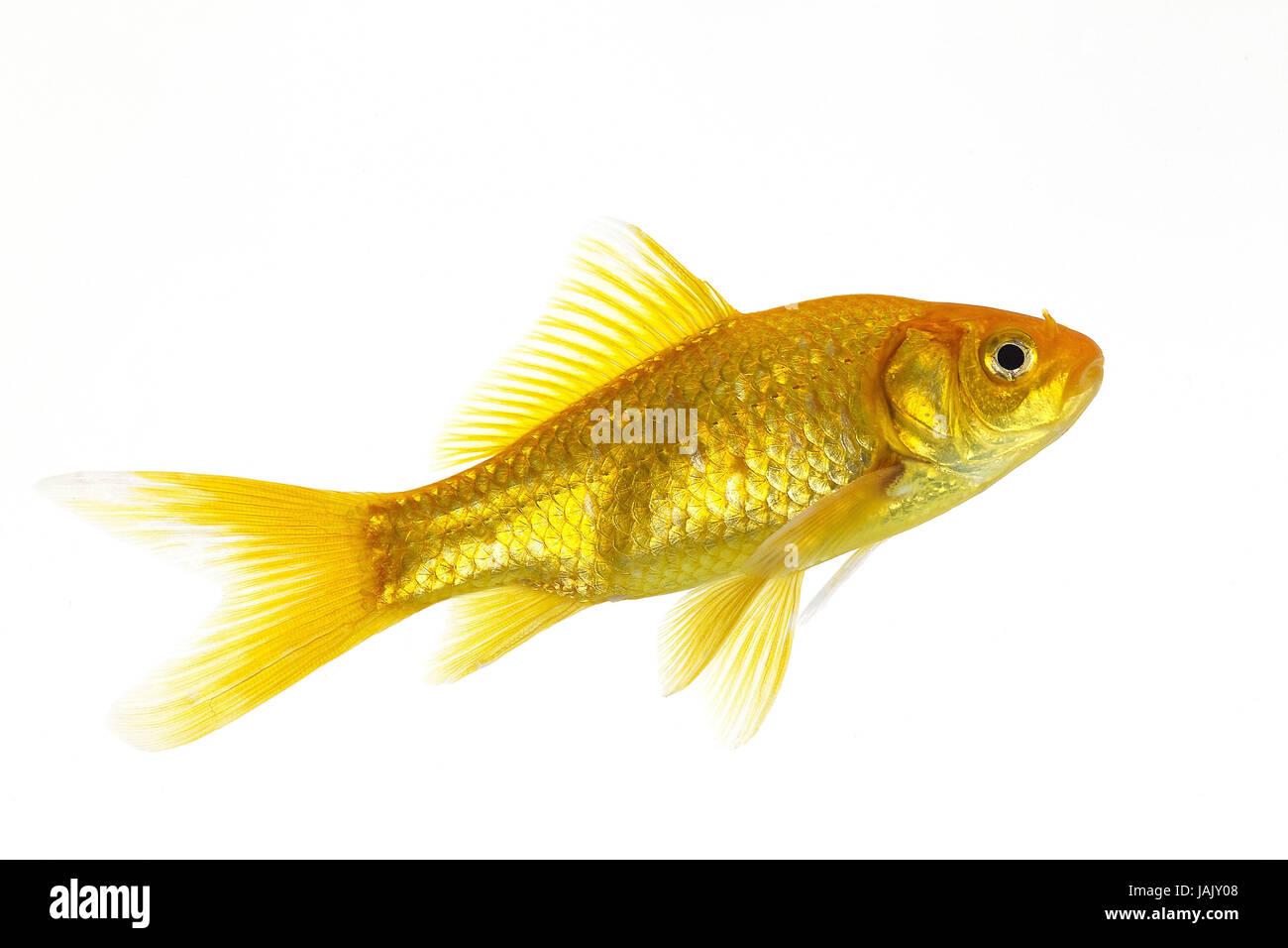 Goldfish,Carassius auratus,white background, Stock Photo