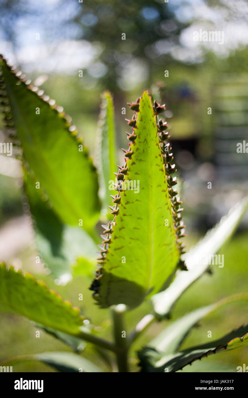 Young plants of Kalanchoe on leaf, Mother of Thousands, Alligator Plant, or Mexican Hat Plant Kalanchoe daigremontiana Stock Photo