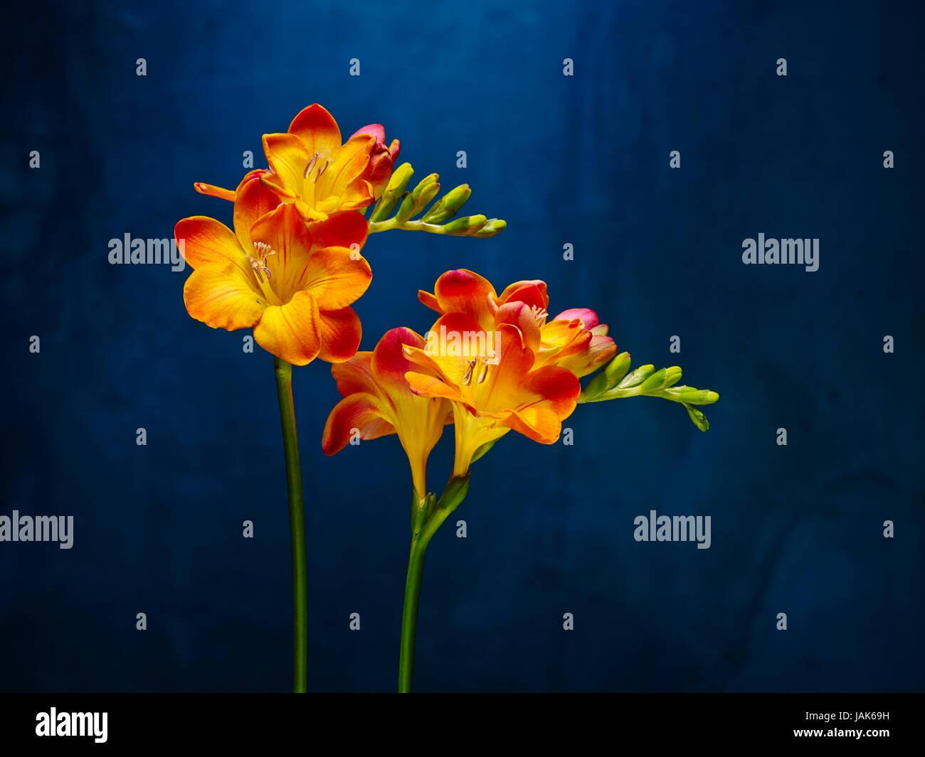 Fabelhaft Fresie Stock Photos & Fresie Stock Images - Alamy #TO_28