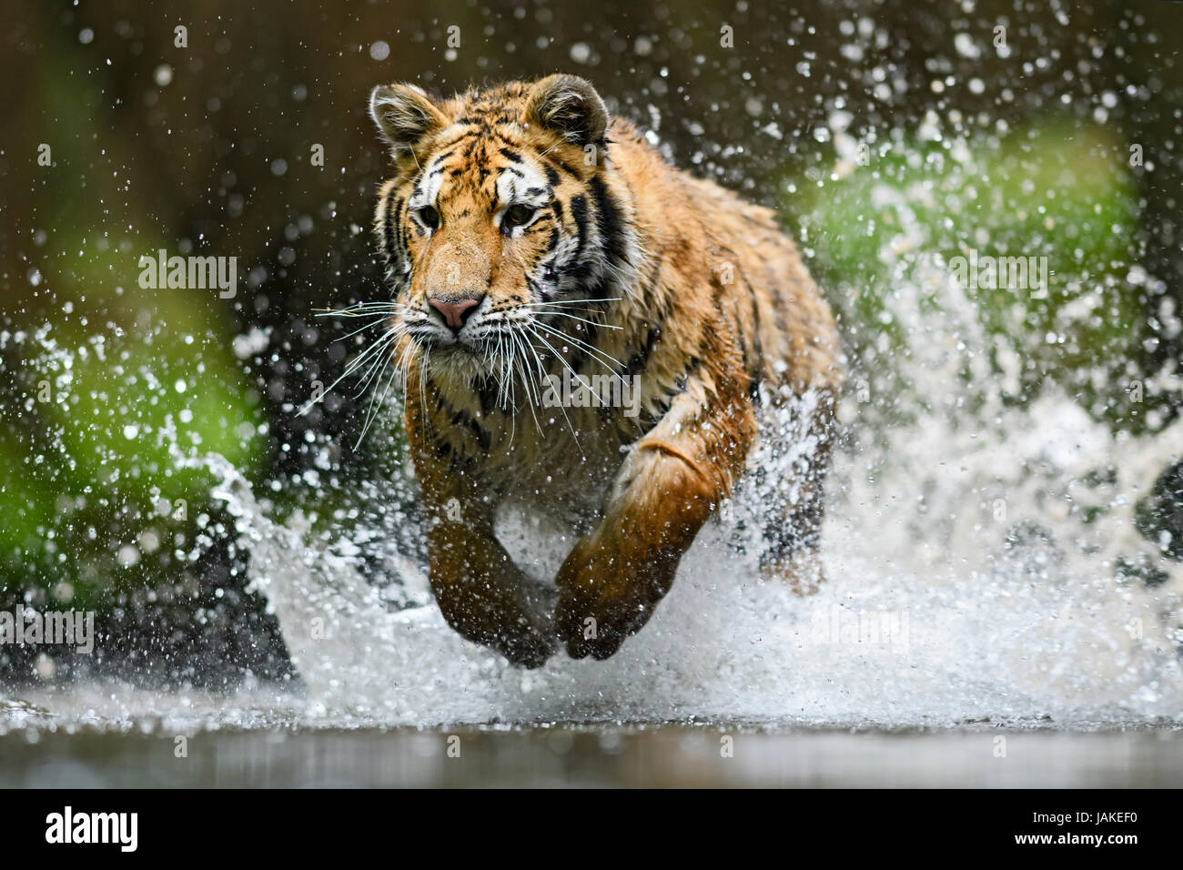 Siberian tiger hunting in the river - Stock Image
