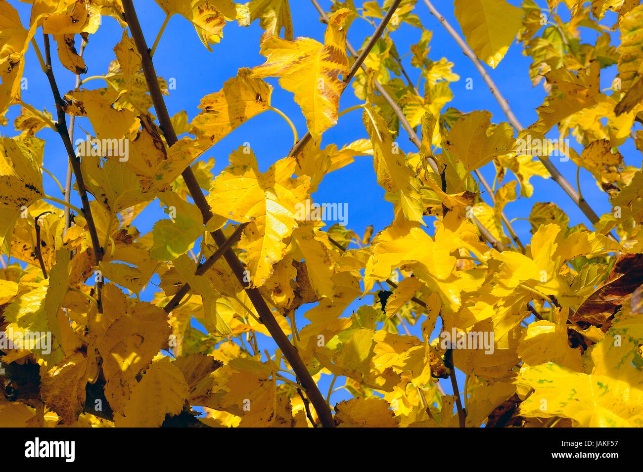 a sharp very yellow tree in autumn on a bottom of blue sky. - Stock Image