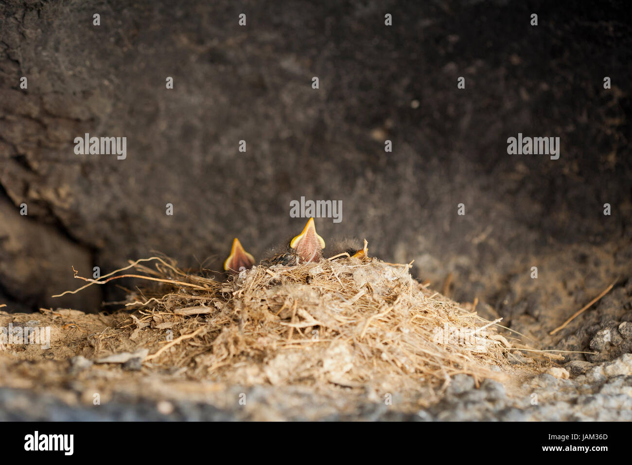 Newly hatched bird chicks waiting for food - USA - Stock Image