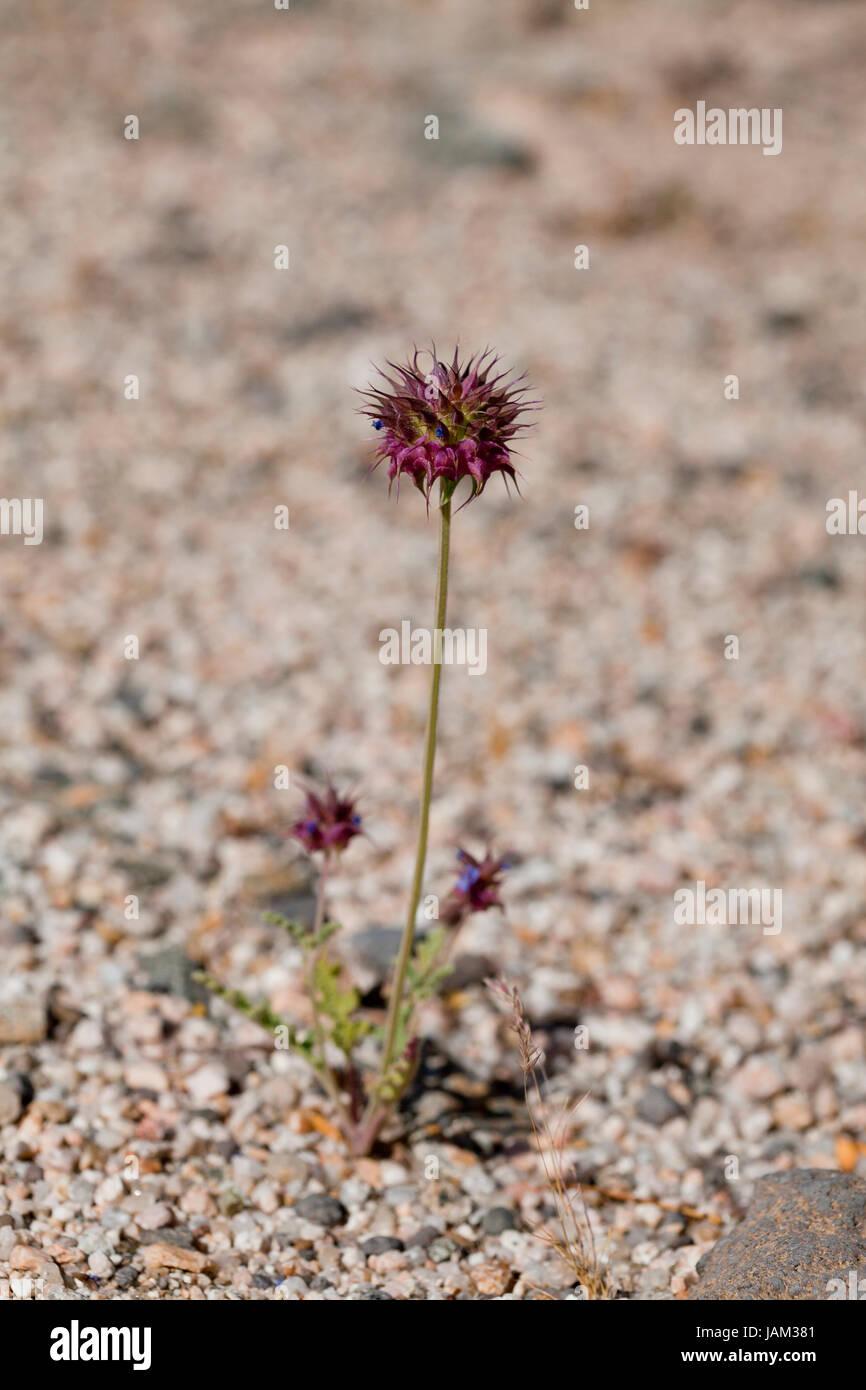 Chia (Salvia columbariae) growing in its natural habitat - Mojave desert, California USA - Stock Image