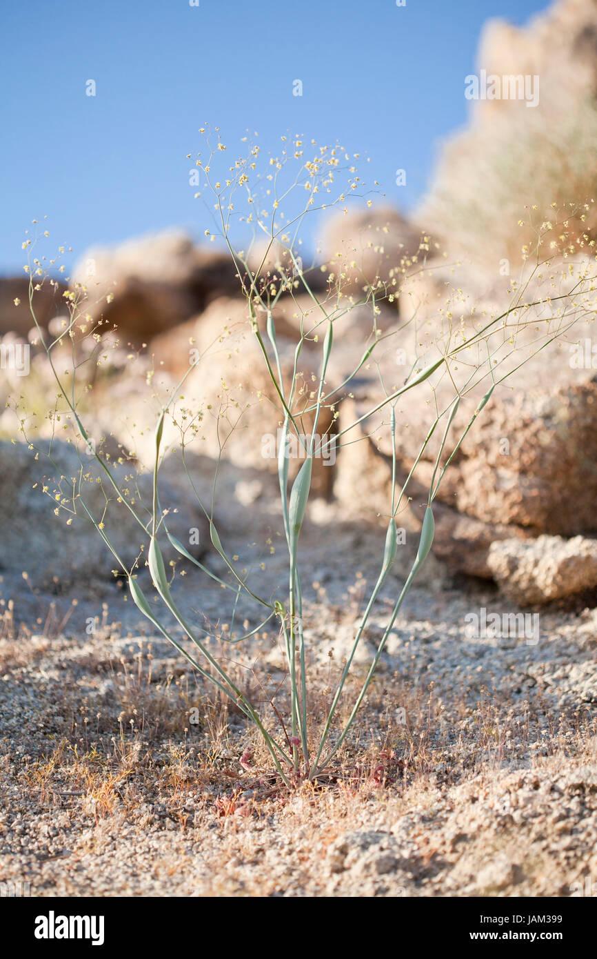 Desert trumpet plant (Eriogonum inflatum) - Mojave desert, California USA - Stock Image