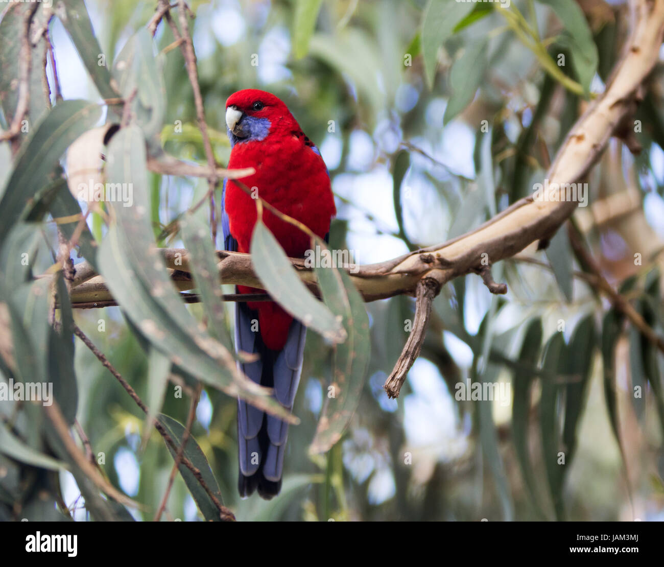 red australian parrot sitting in a eucalyptus tree - Stock Image