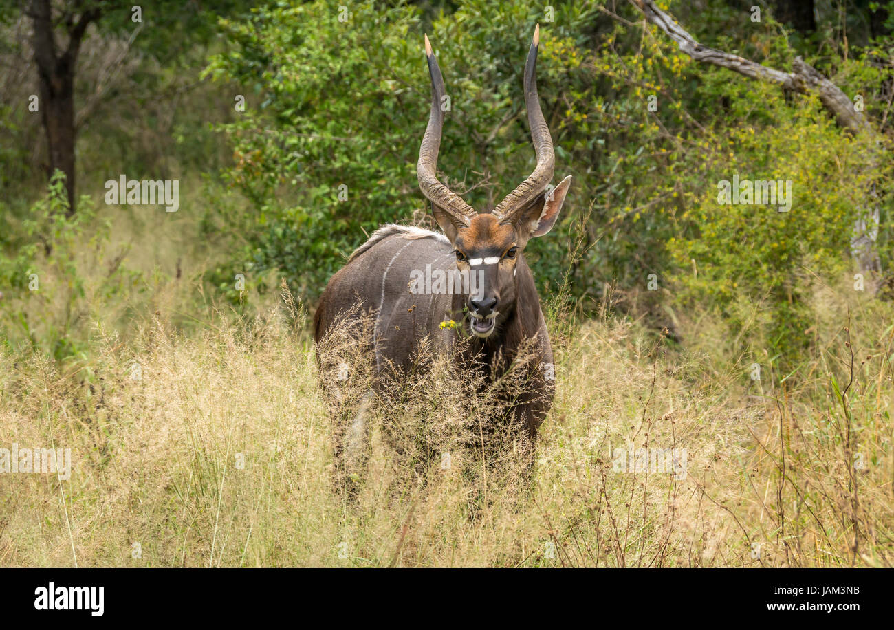 Close up of watchful male nyala, Tragelaphus angasii, Sabi Sands safari game reserve, Kruger, South Africa - Stock Image
