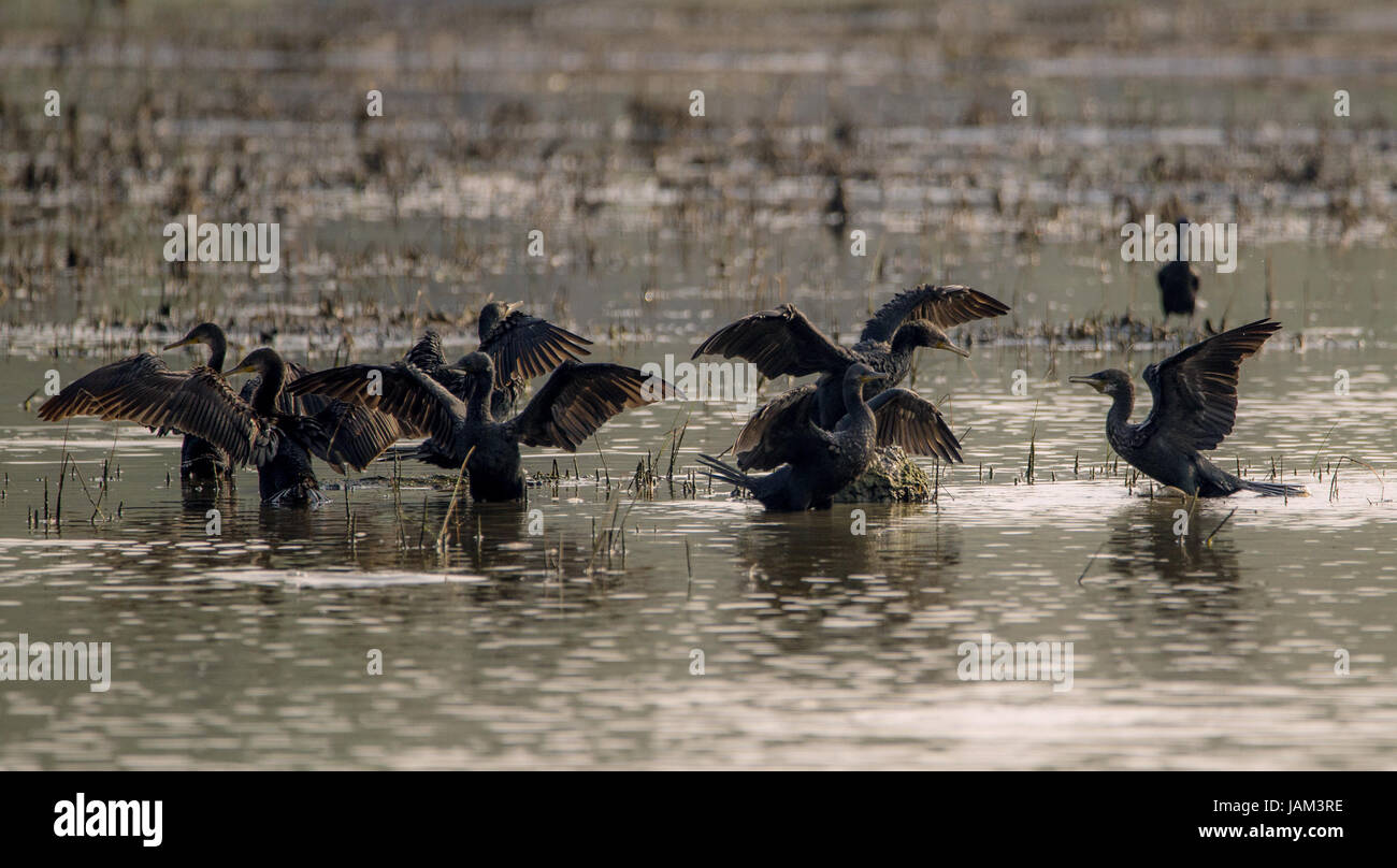 A flock of Indian Comorants drying their wings on a sunny day - Stock Image