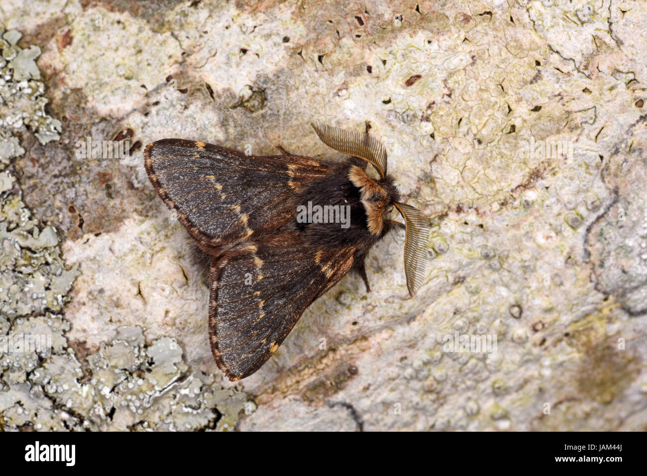 December Moth (Poecilocampa populi) adult male resting on tree trunk, Gwent, Wales, February - Stock Image