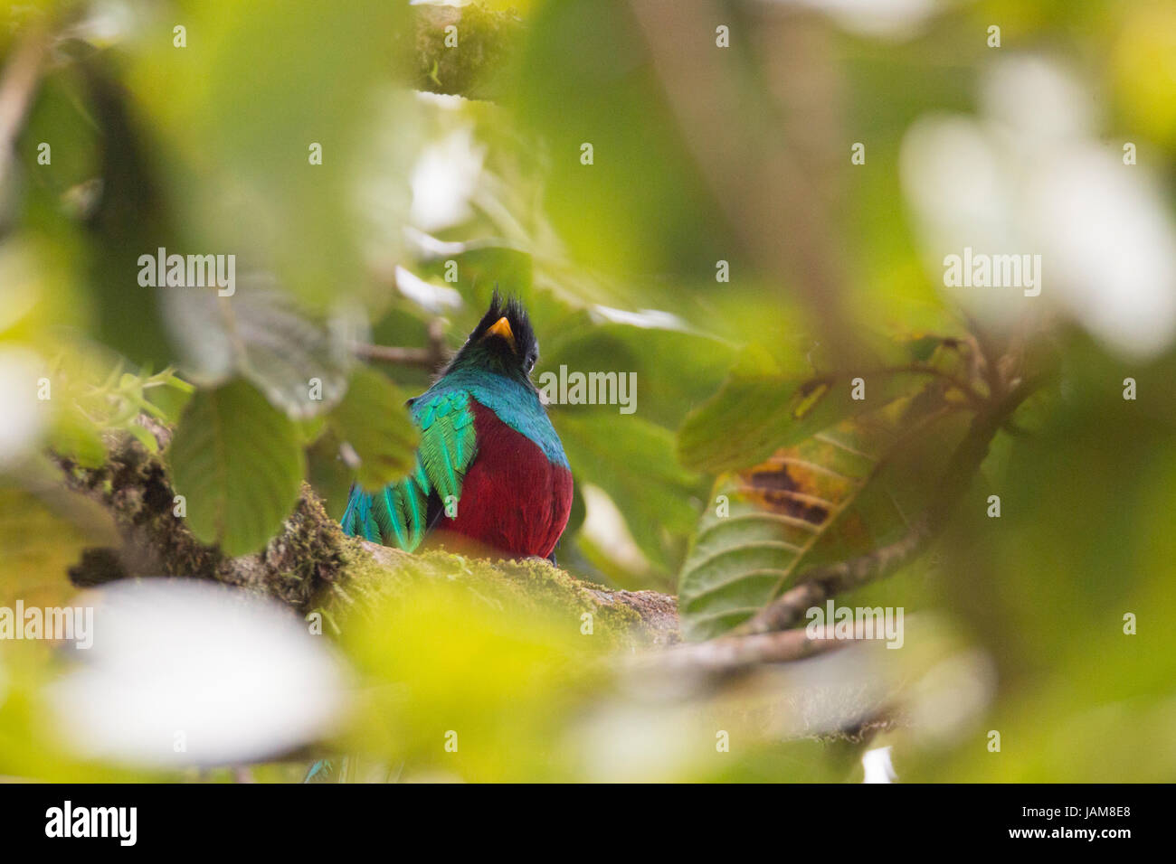 Resplendent Quetzel in an avocado tree in Monteverde Costa Rica rainforest - Stock Image