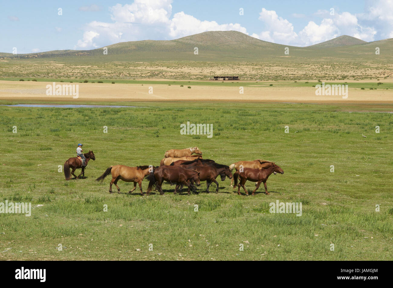 Mongolia,Central Asia,Ovorkhangai province,bleed with his horses in the steppe, Stock Photo