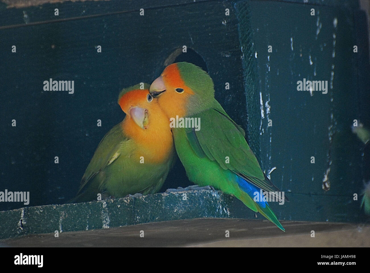 Parrotsinseparableaviary