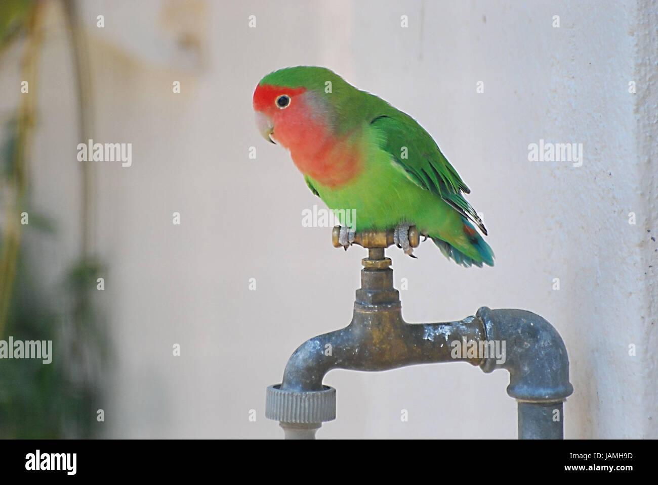 Parrot,rose brains,tap, - Stock Image