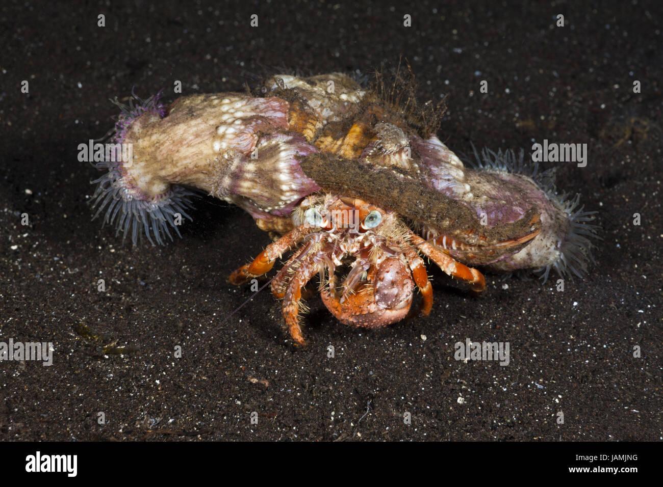 Hermit crab in symbiosis with parasite anemones,Dardanus pedunculatus,Alam Batu,Bali,Indonesia, - Stock Image