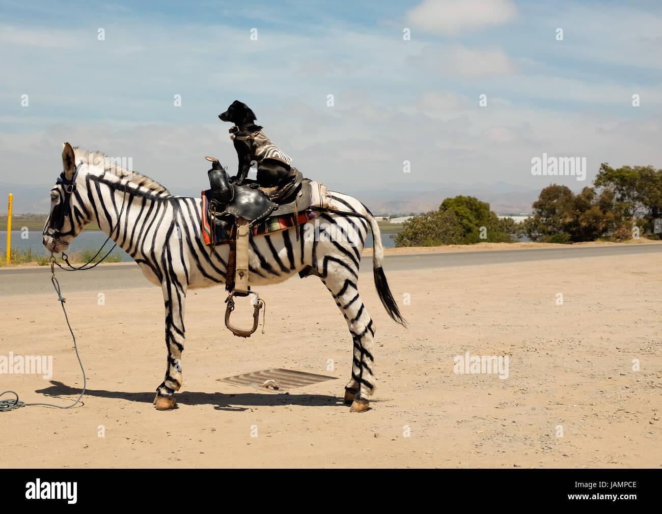 Horse Zebra Stripes Painted On Stock Photos & Horse Zebra Stripes