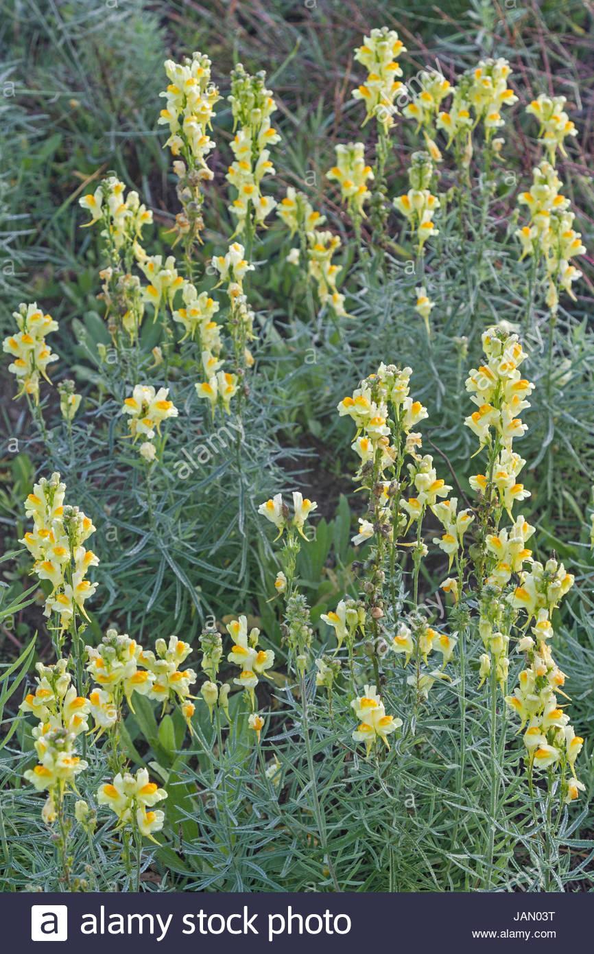 Kleines Löwenmaul oder auch Echtes Leinkraut genannt  ist häufig auf warmen Böschungen und sonnenbeschienenen Feldern Stock Photo