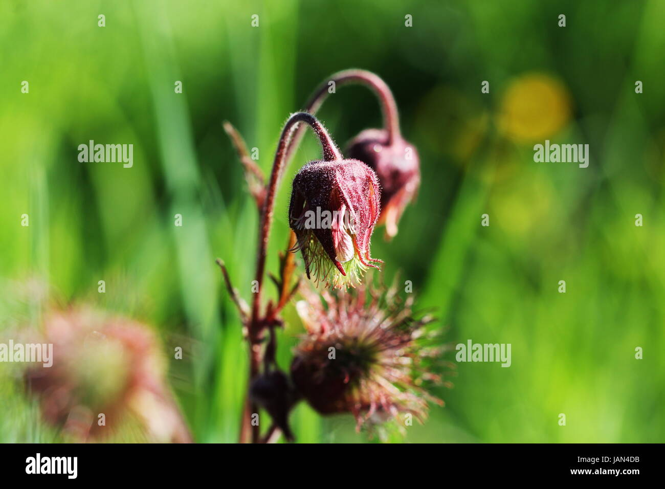 geum rivale, water avens, purple avens flower blooming - Stock Image