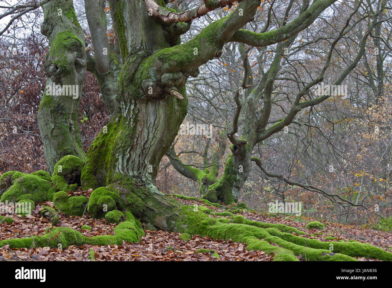 in hutewald - Stock Image