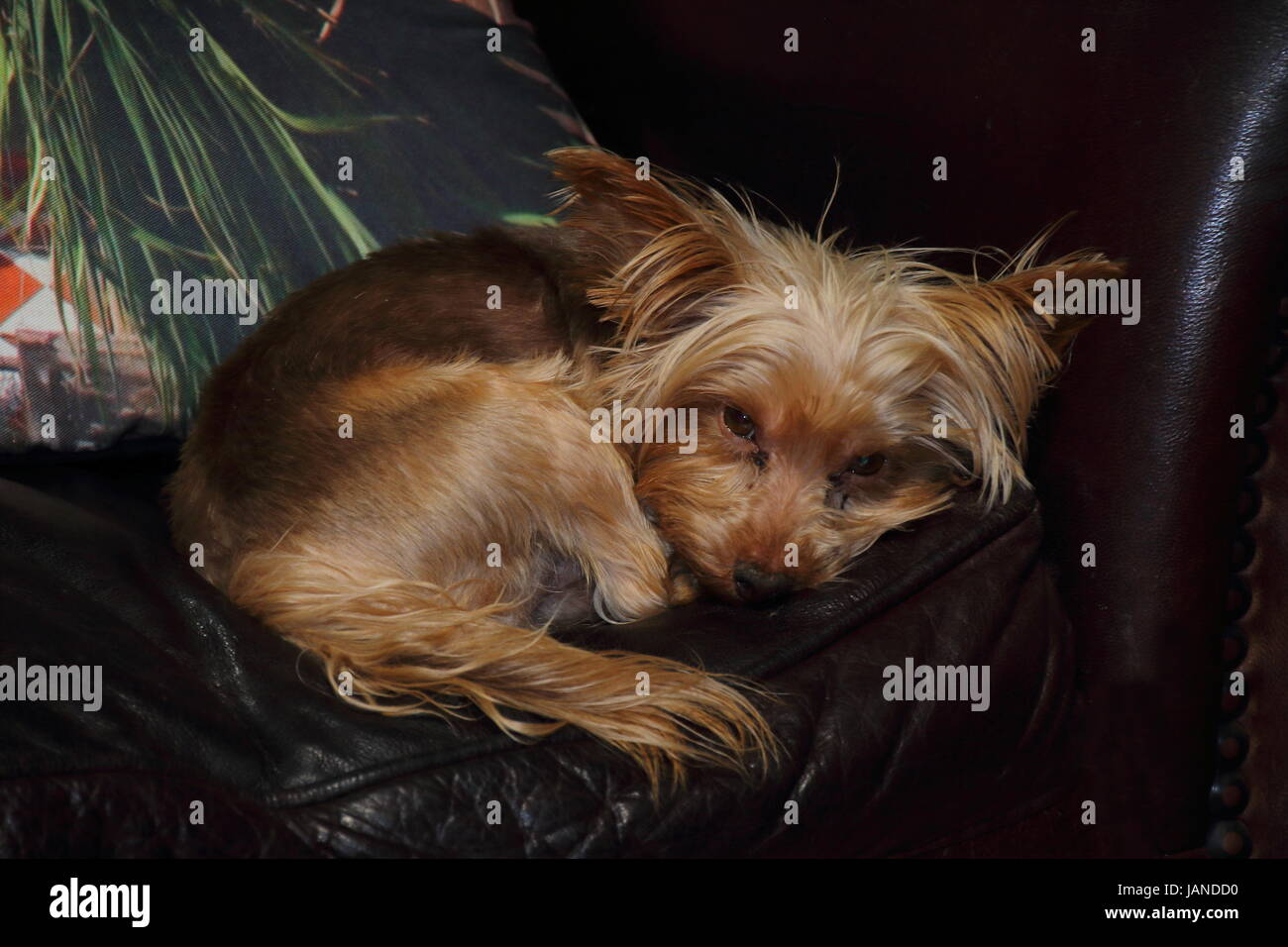Phenomenal Small Brown Dog Sleeping On A Brown Leather Couch Next To A Forskolin Free Trial Chair Design Images Forskolin Free Trialorg