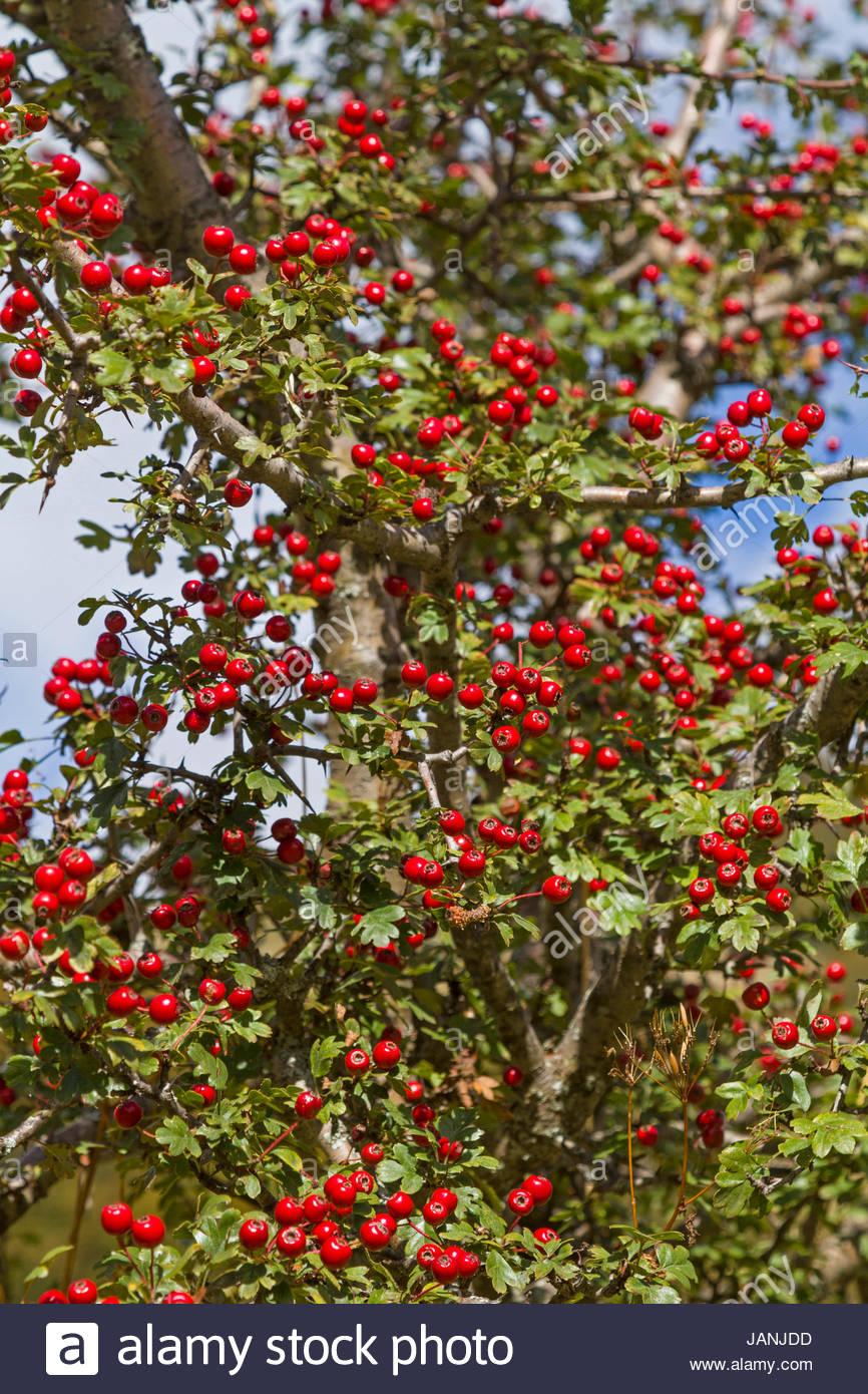 Im Herbst tragen die Weißdornhecken eine üppige rote Beerenpracht Stock Photo