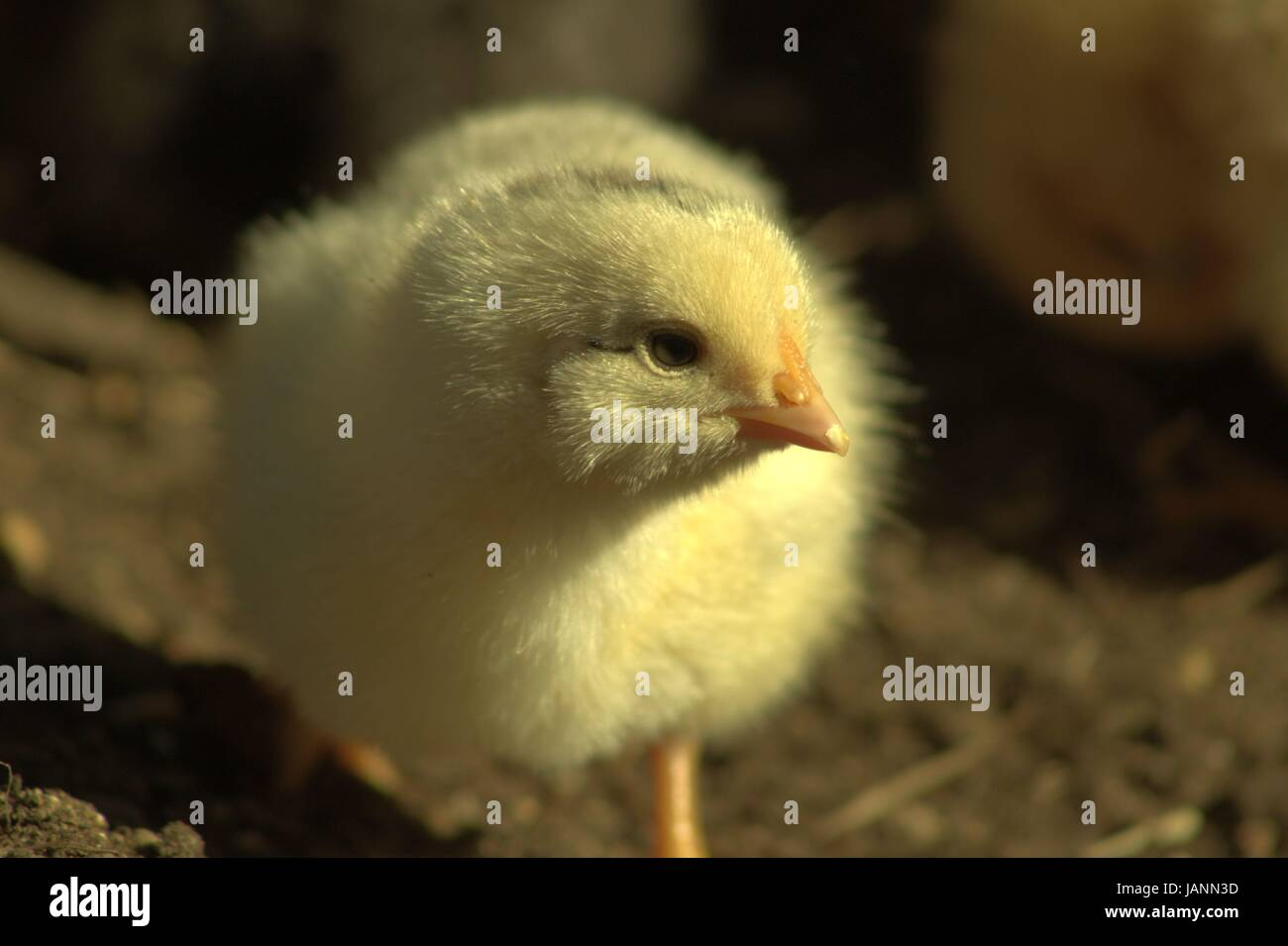 A Two Day Old Baby Chick Outside For The First Time Stock Photo