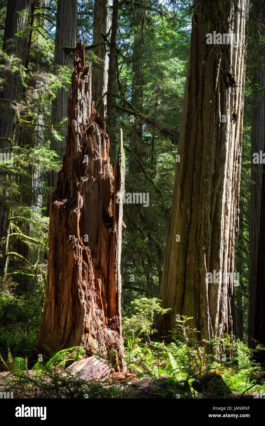 A jagged stump stands among the redwoods along the Boy Scout Trail at Jedidiah Smith State Park in Northern California. - Stock Image