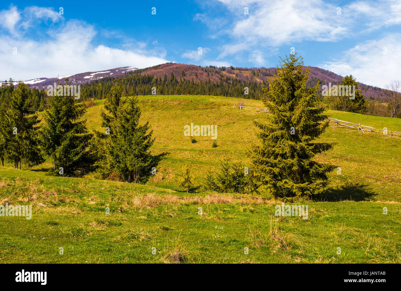 Conifer forest at the foot of the mountain on a bright sunny day. blue sky with clouds in summer countryside landscape - Stock Image