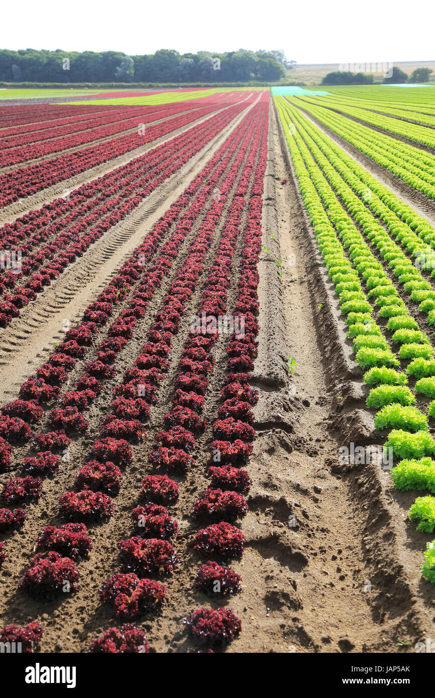 Rows Of Lettuce Crops Growing In Sandy Soil At Alderton