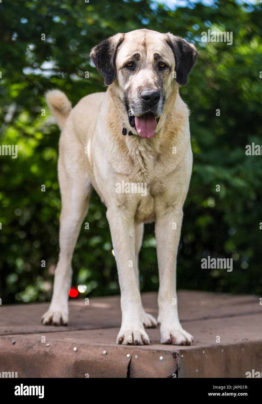Kangal Dog Stock Photos & Kangal Dog Stock Images - Alamy