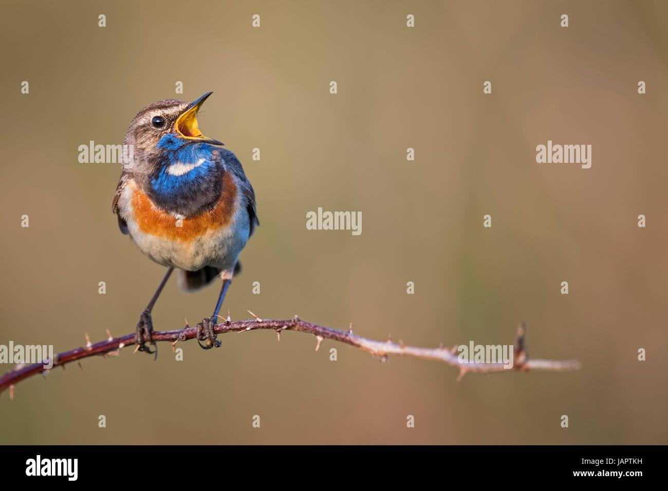Bluethroat (Luscinia svecica) singing, courtship display, male, North Holland, Netherlands Stock Photo